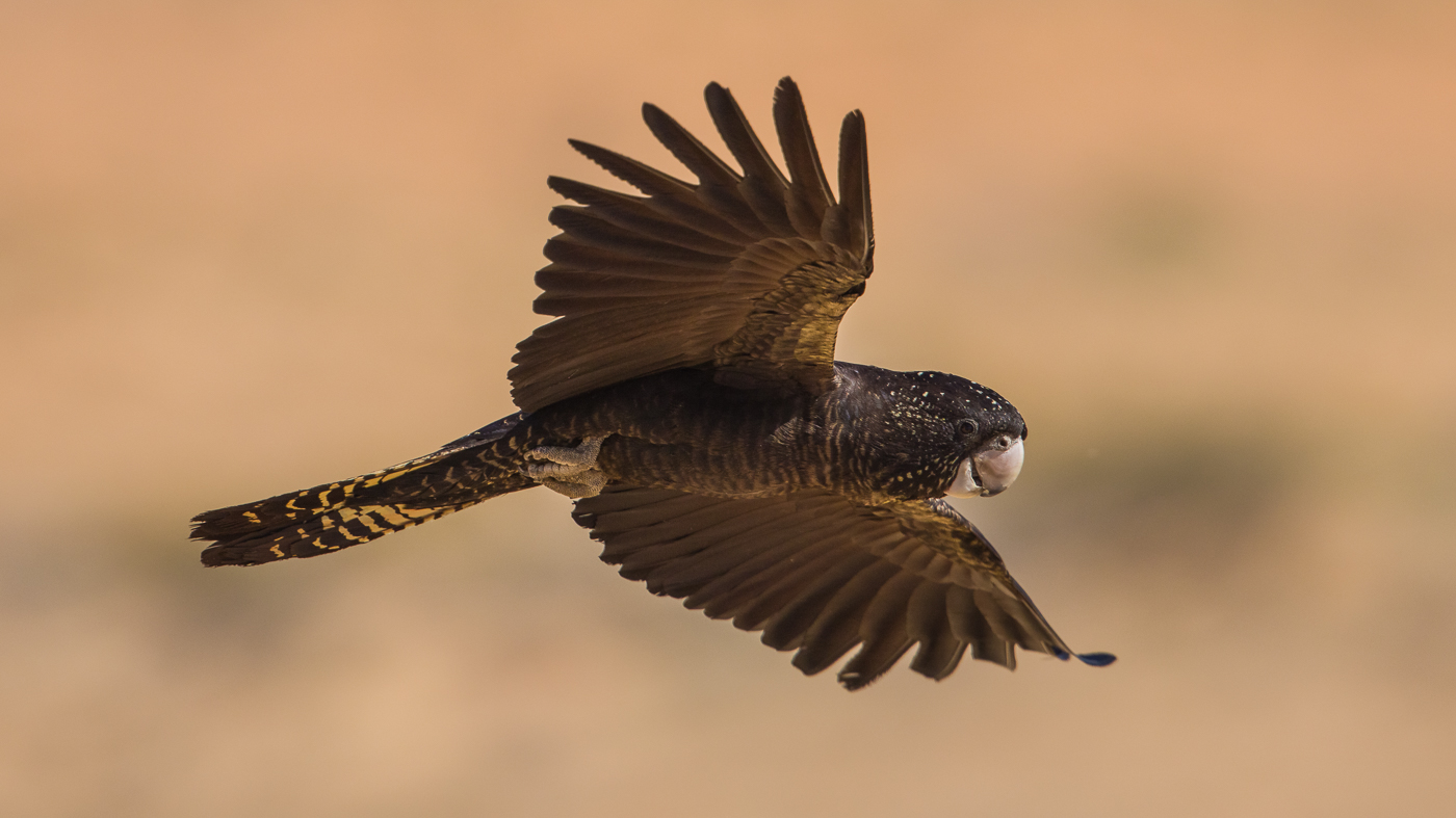 Red-tailed Black-Cockatoo (Image ID 37158)