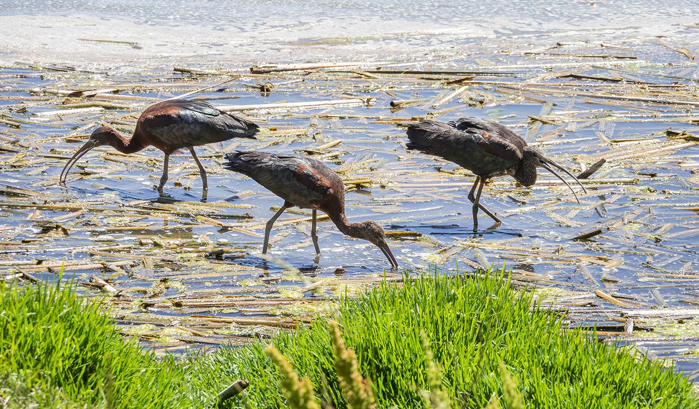 Glossy Ibis (Image ID 37346)