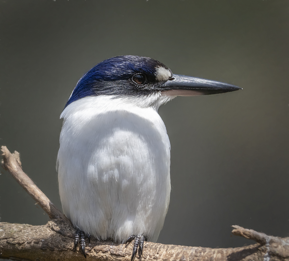 Forest Kingfisher (Image ID 37043)