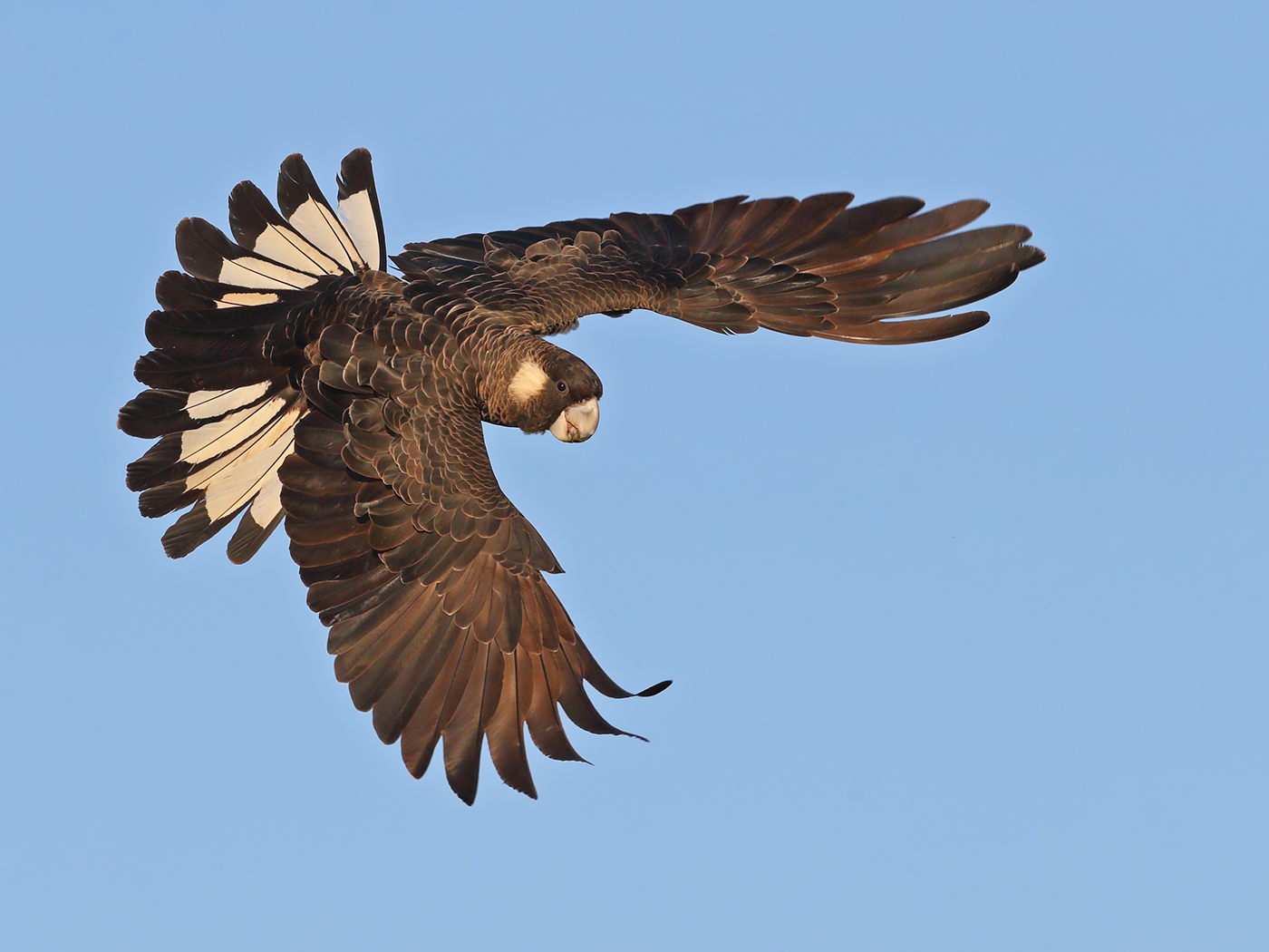 Carnaby's Black-Cockatoo (Image ID 37385)