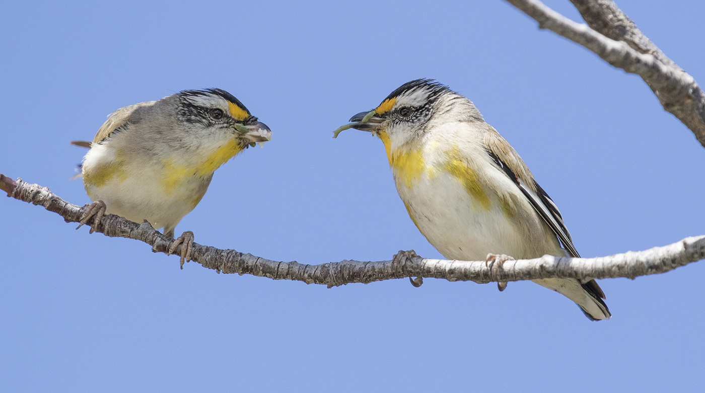 Striated Pardalote (Image ID 37029)