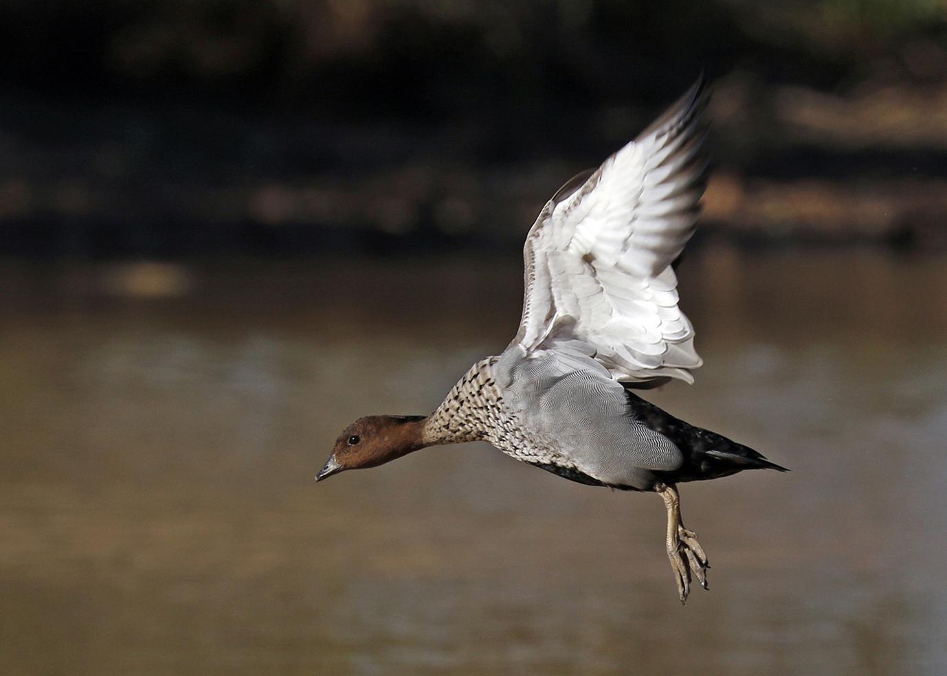 Australian Wood Duck (Image ID 37364)