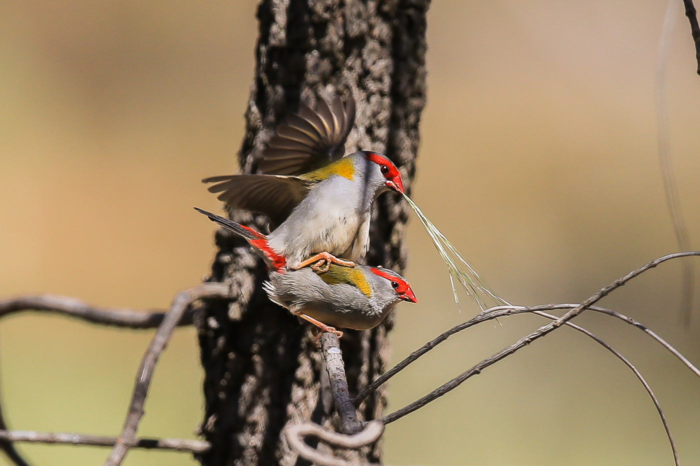 Red-browed Finch (Image ID 37061)