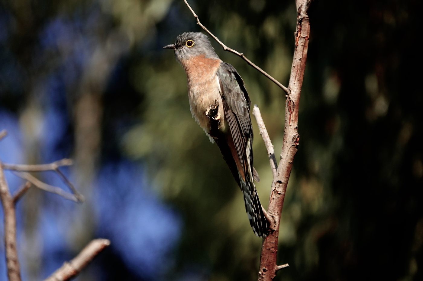 Fan-tailed Cuckoo (Image ID 37396)