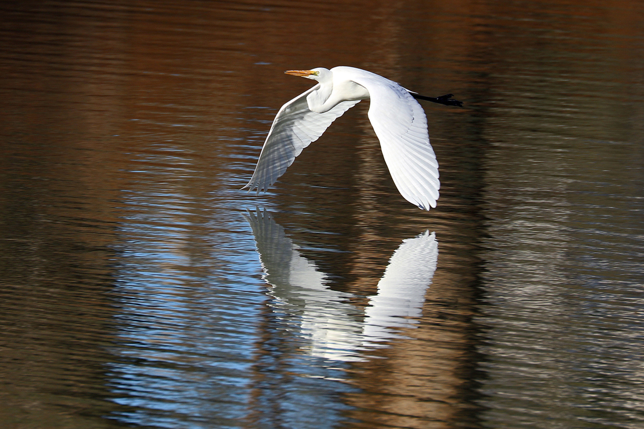 Great Egret (Image ID 37389)