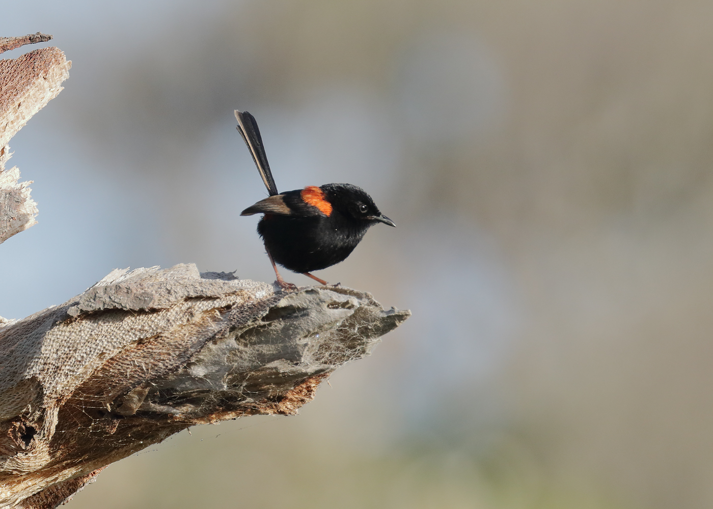 Red-backed Fairy-wren (Image ID 37351)