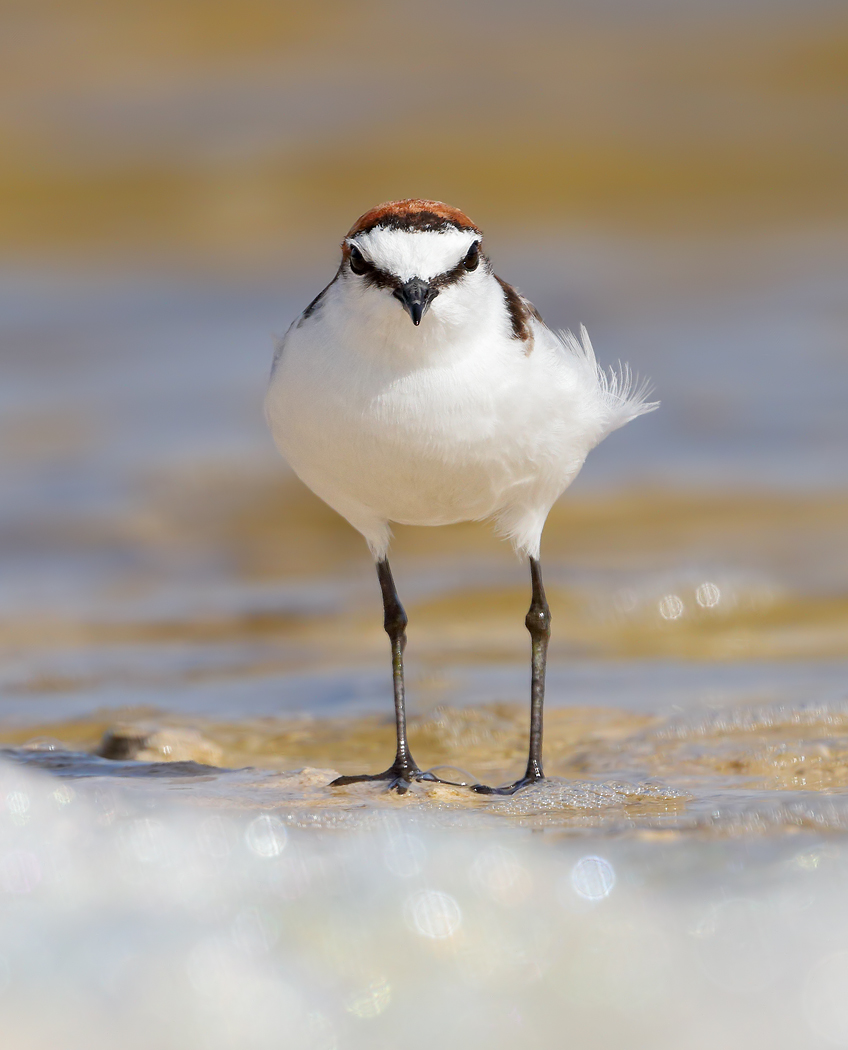 Red-capped Plover (Image ID 37120)
