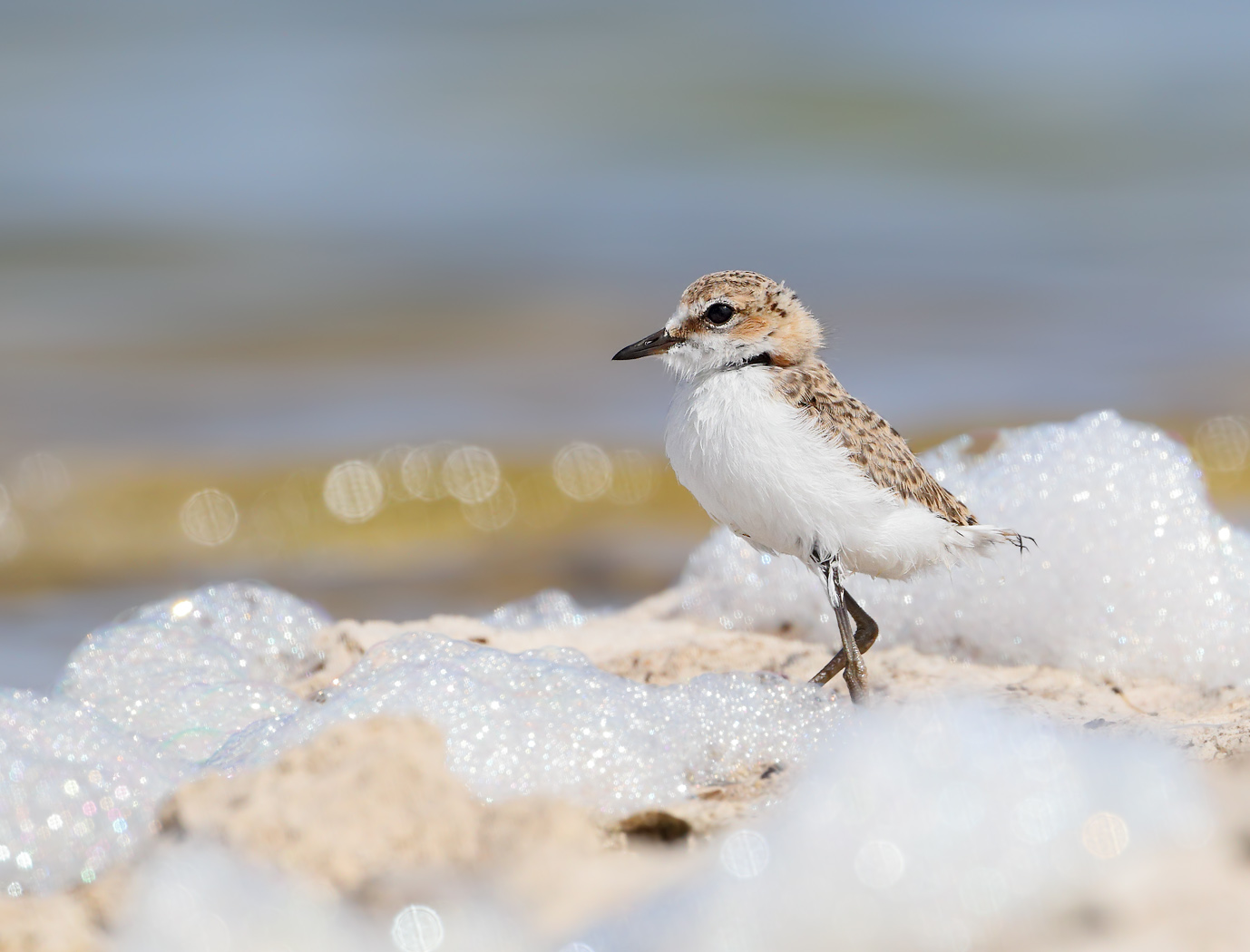 Red-capped Plover (Image ID 37150)