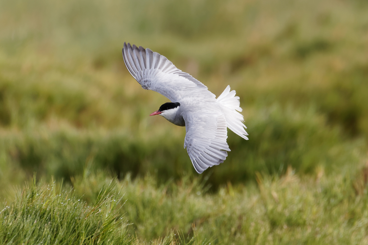 Whiskered Tern (Image ID 37268)