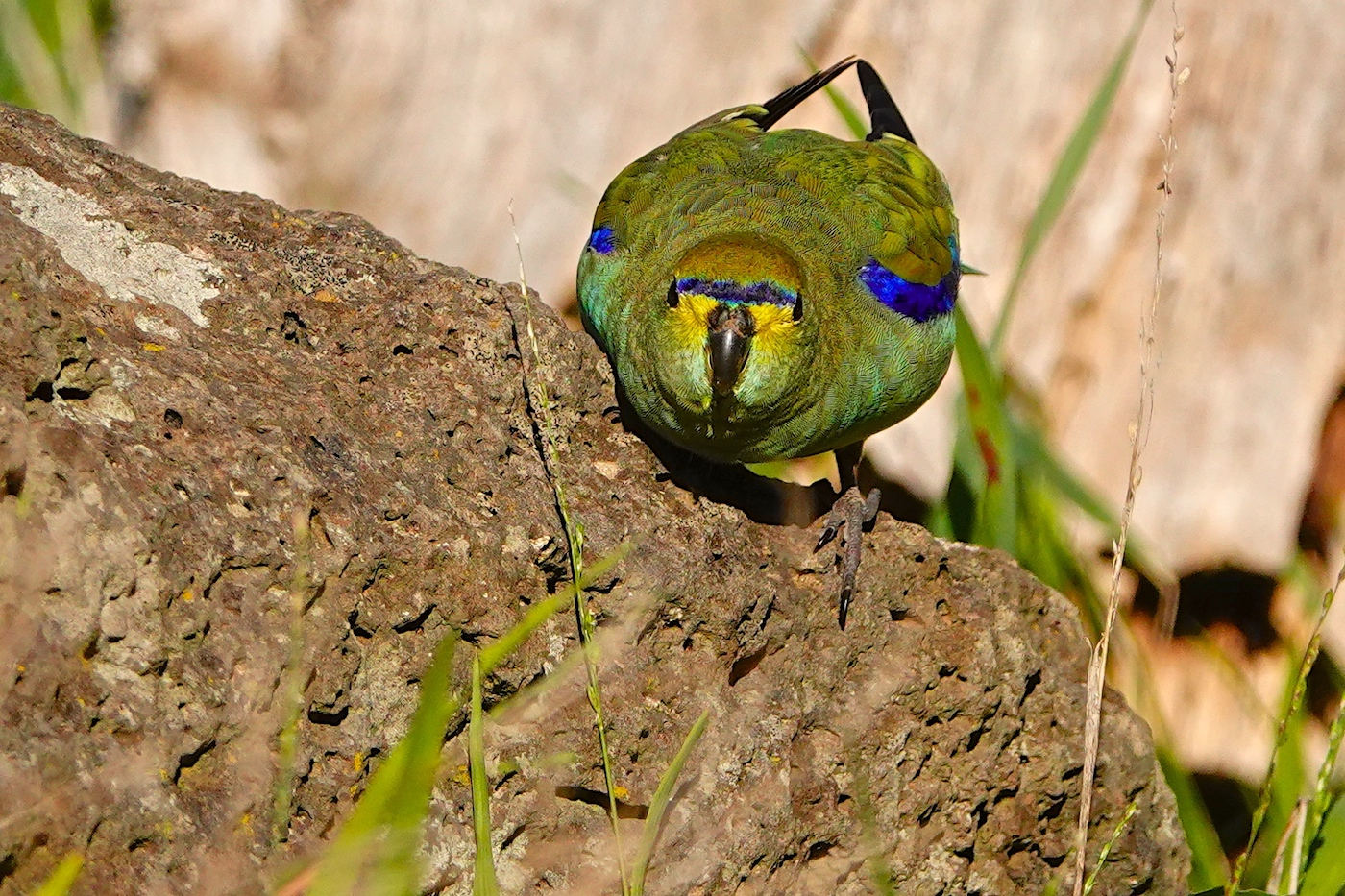 Blue-winged Parrot (Image ID 37036)