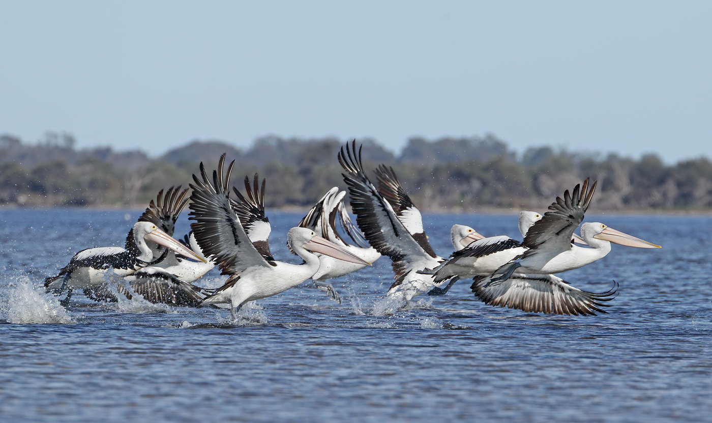 Australian Pelican (Image ID 37259)