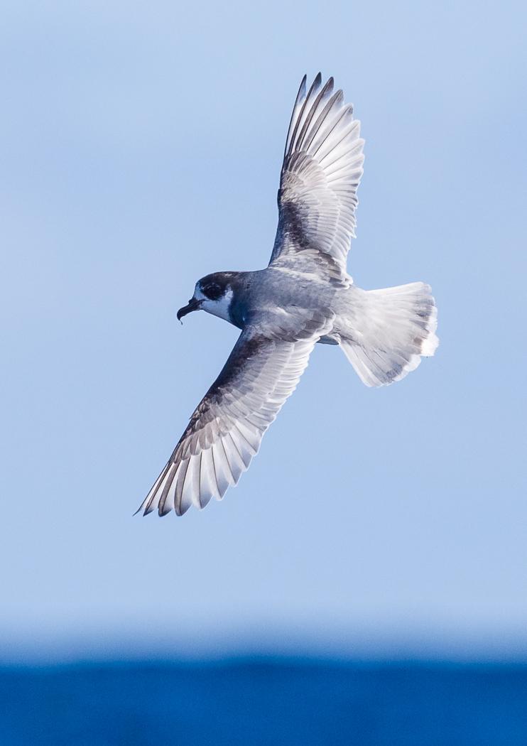 Blue Petrel (Image ID 37177)