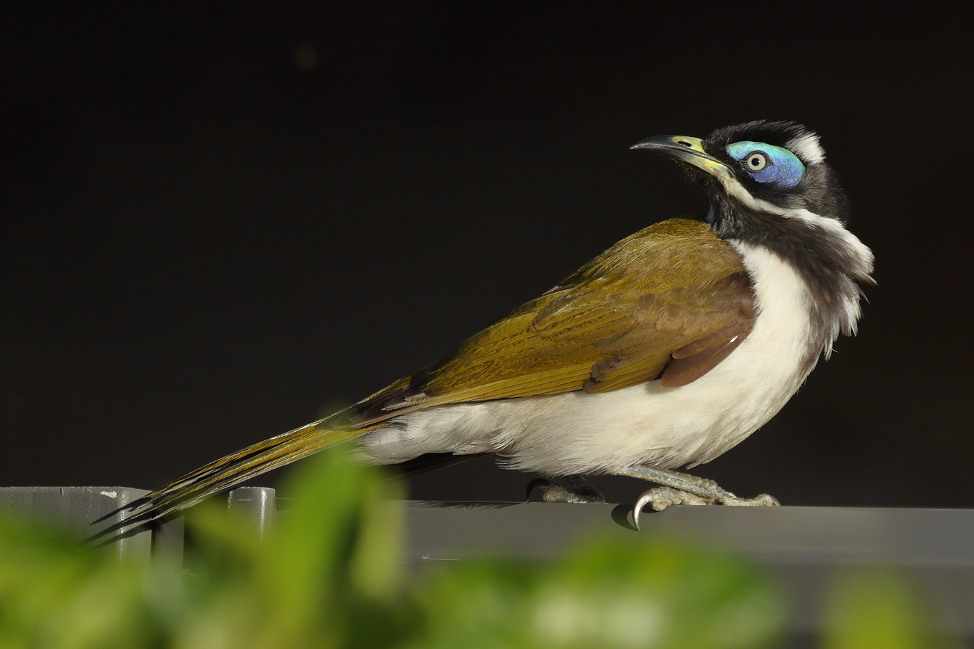 Blue-faced Honeyeater complex (Image ID 37353)
