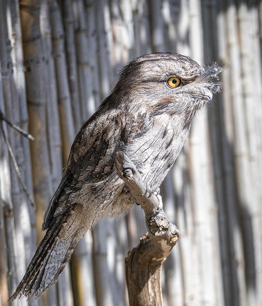 Tawny Frogmouth (Image ID 37830)