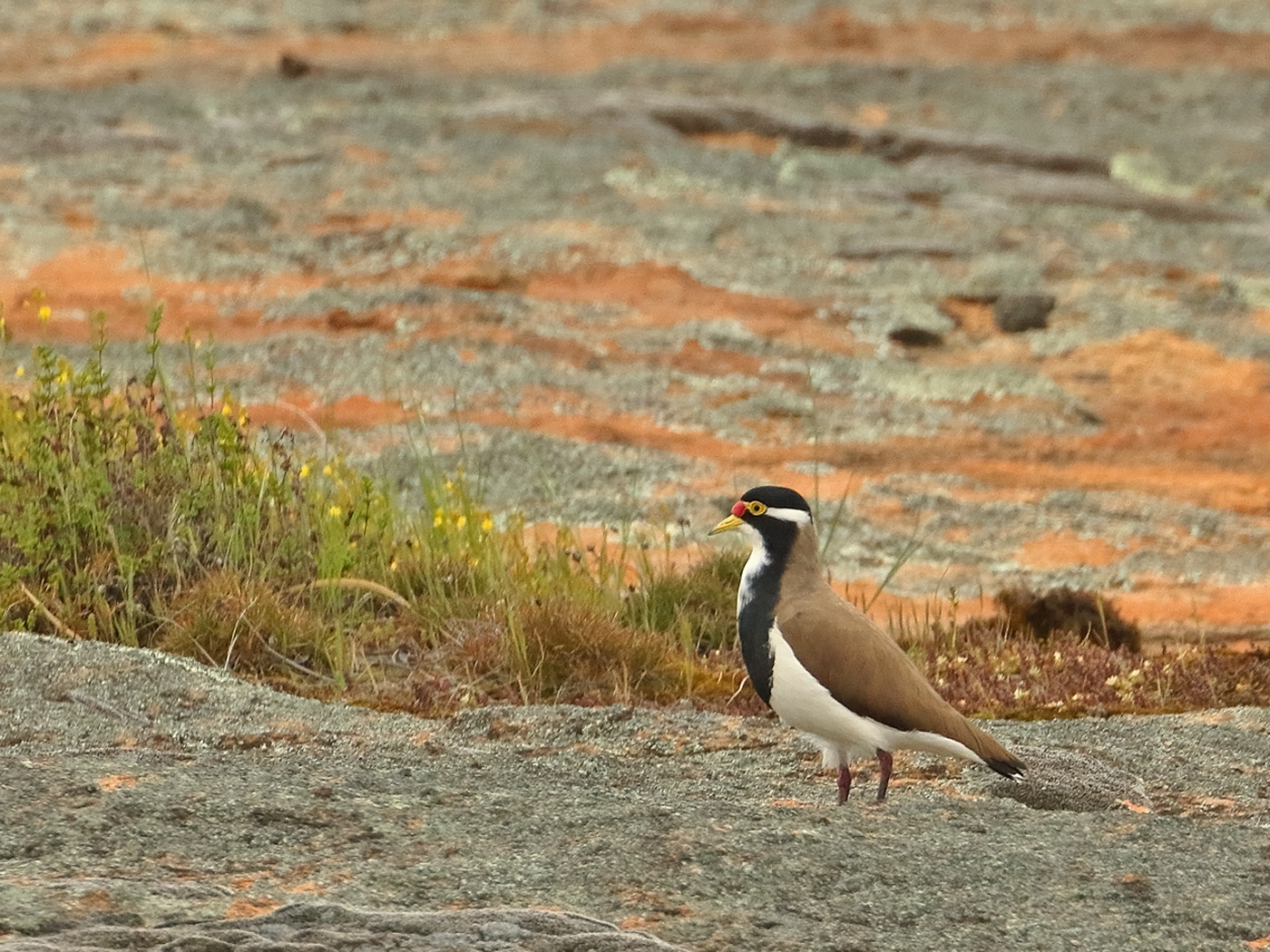 Banded Lapwing (Image ID 37865)
