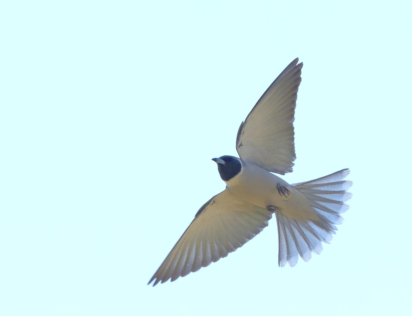 Masked Woodswallow (Image ID 37723)