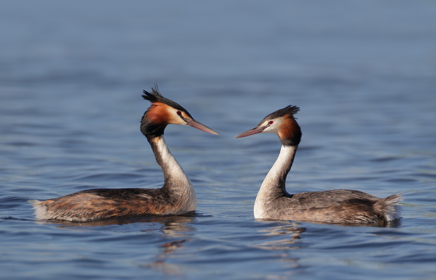 Great Crested Grebe (Image ID 37677)