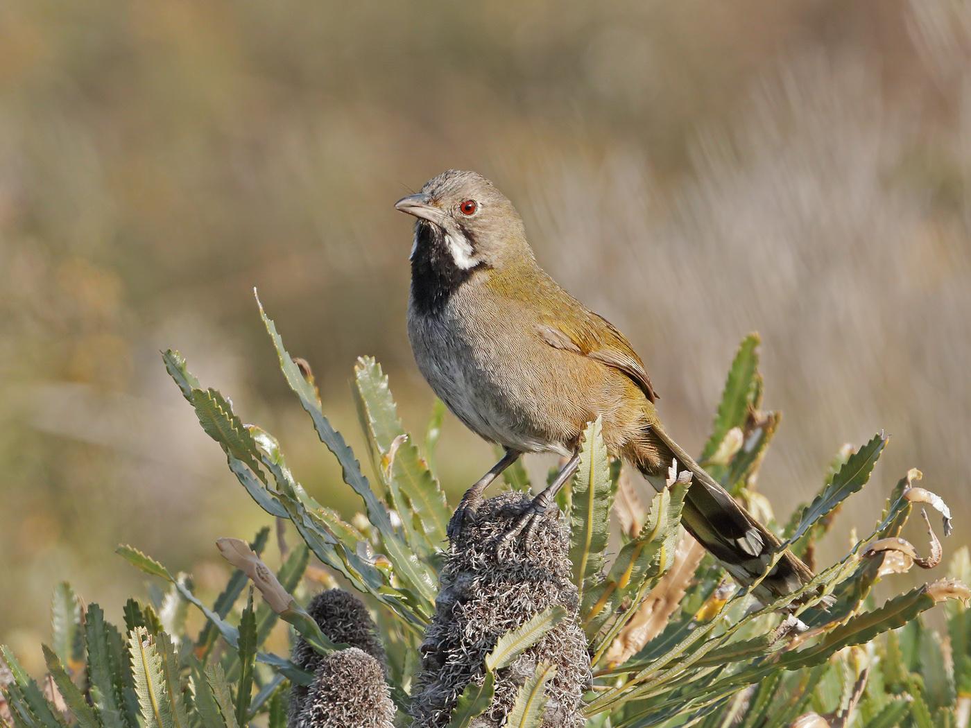 Western Whipbird (Image ID 37763)