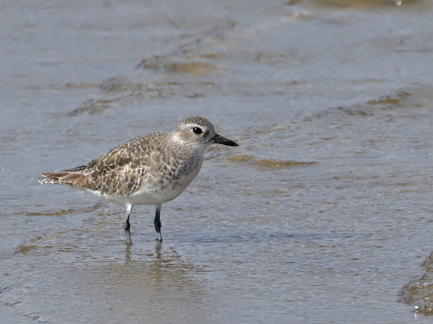 Grey Plover (Image ID 37489)