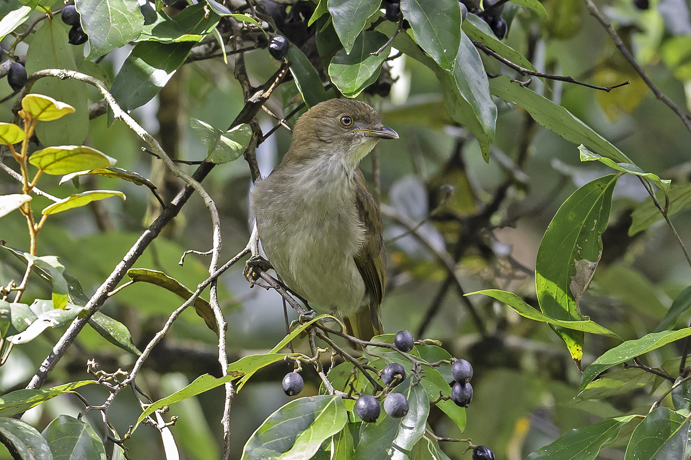 Golden Bowerbird (Image ID 37776)