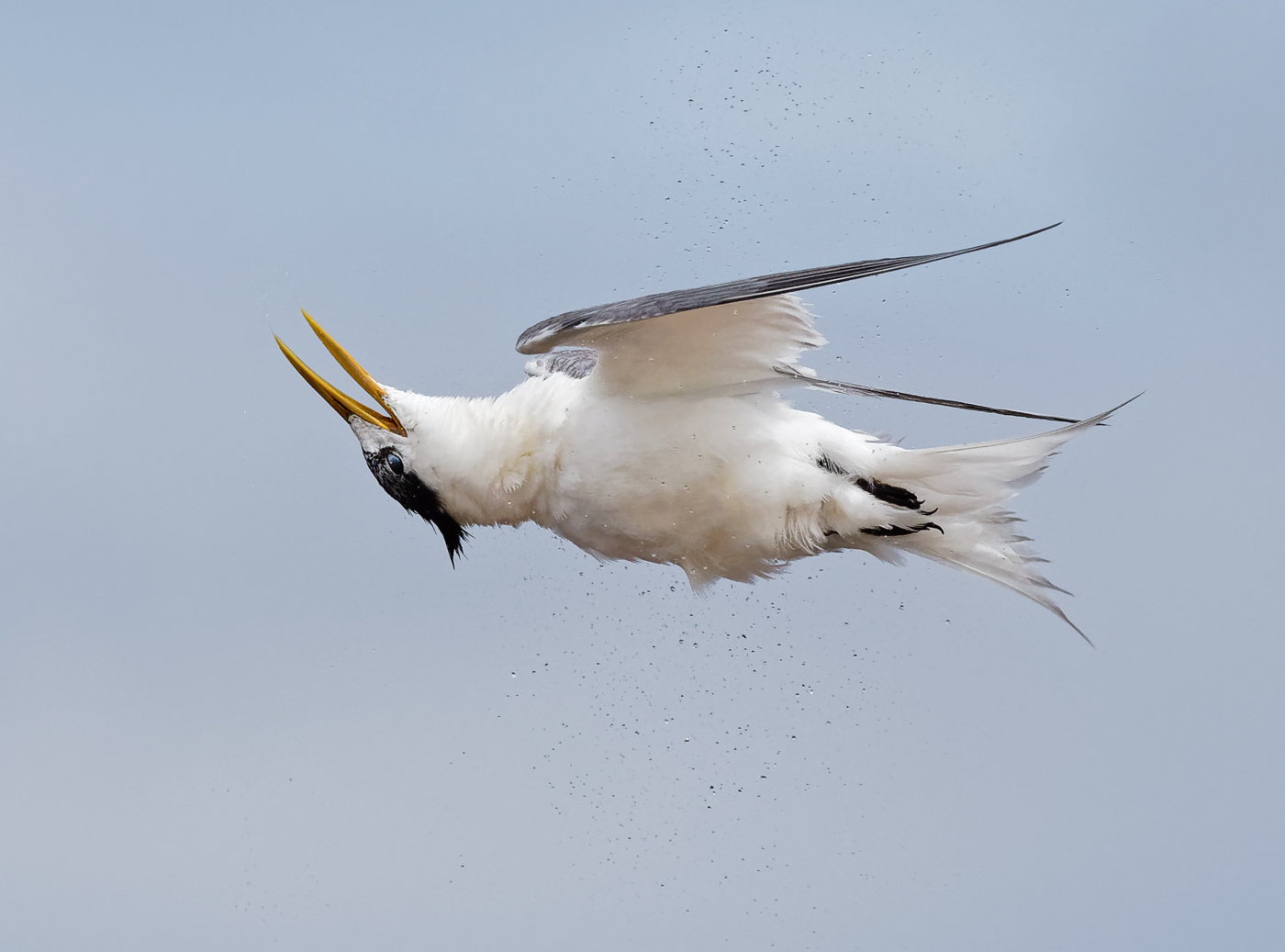 Crested Tern (Image ID 37474)