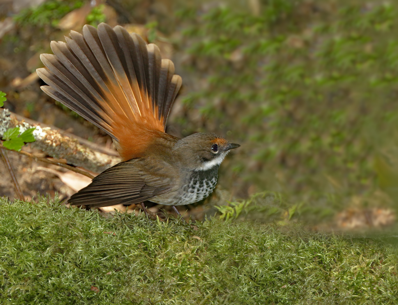 Rufous Fantail complex (Image ID 37676)