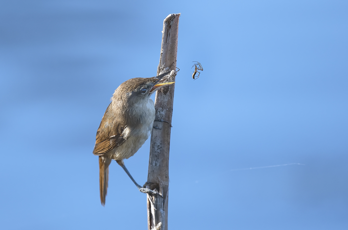 Australian Reed-Warbler (Image ID 37813)