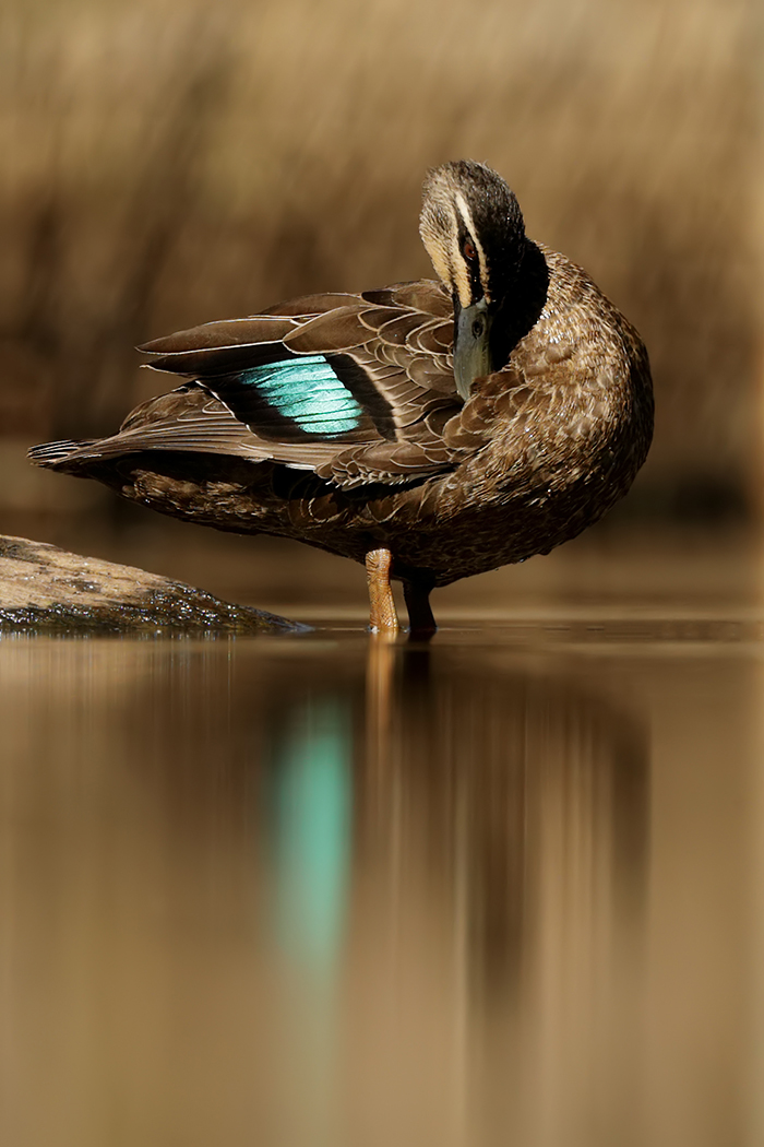 Pacific Black Duck (Image ID 37770)