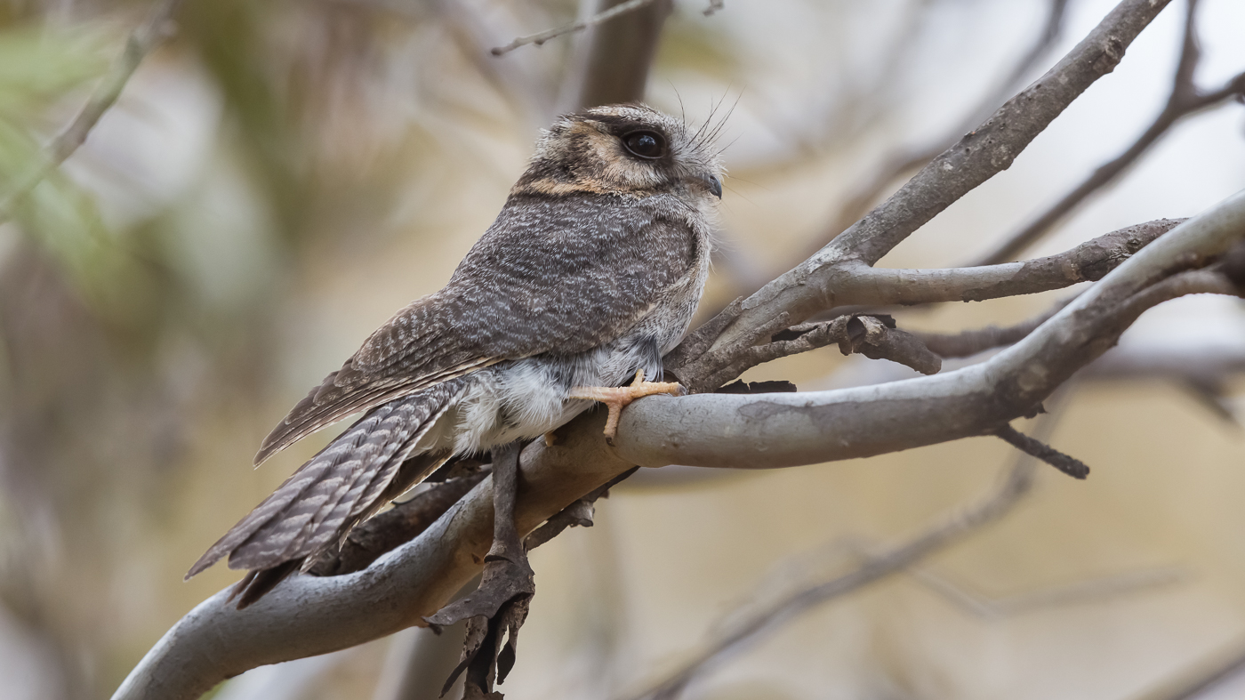Australian Owlet-nightjar (Image ID 37465)