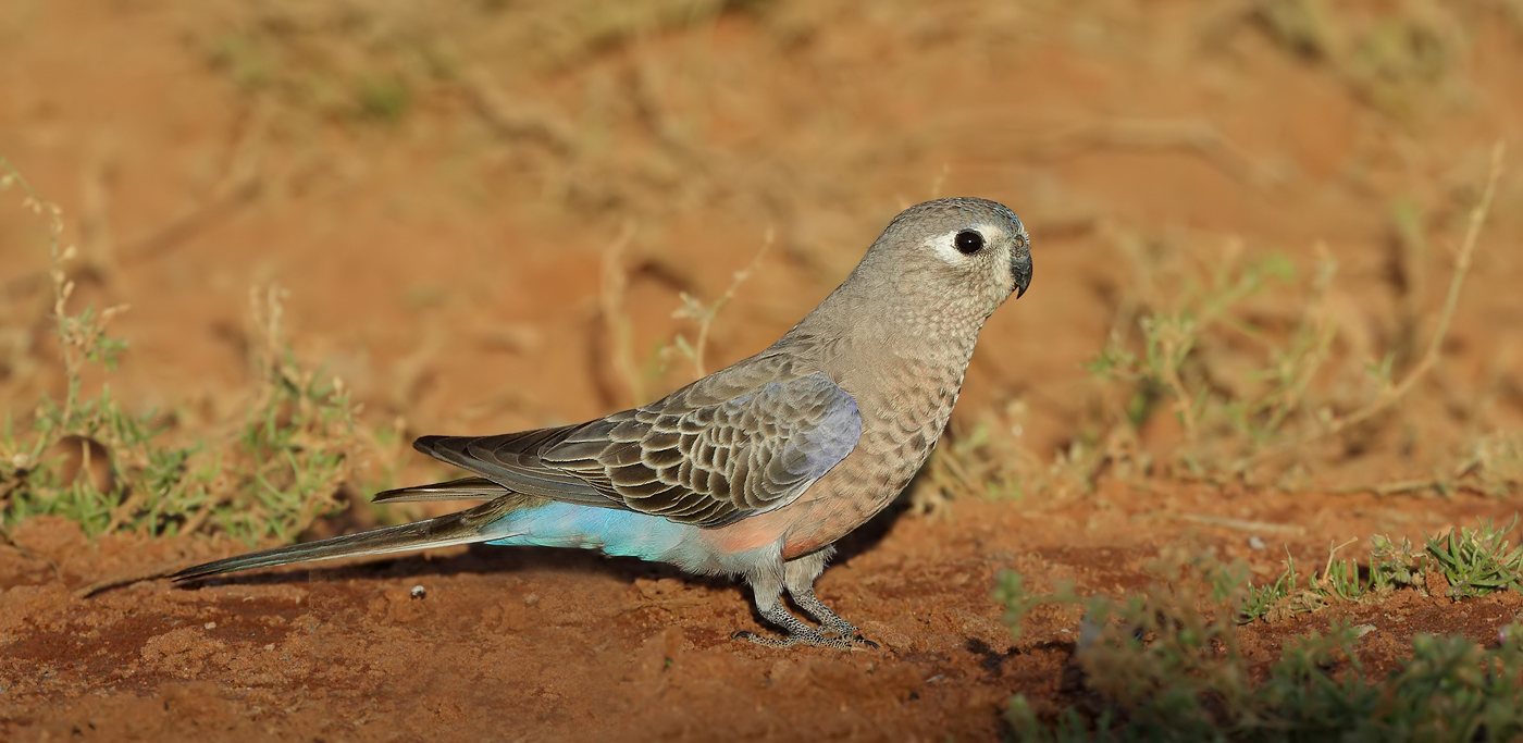 Bourke's Parrot (Image ID 37630)