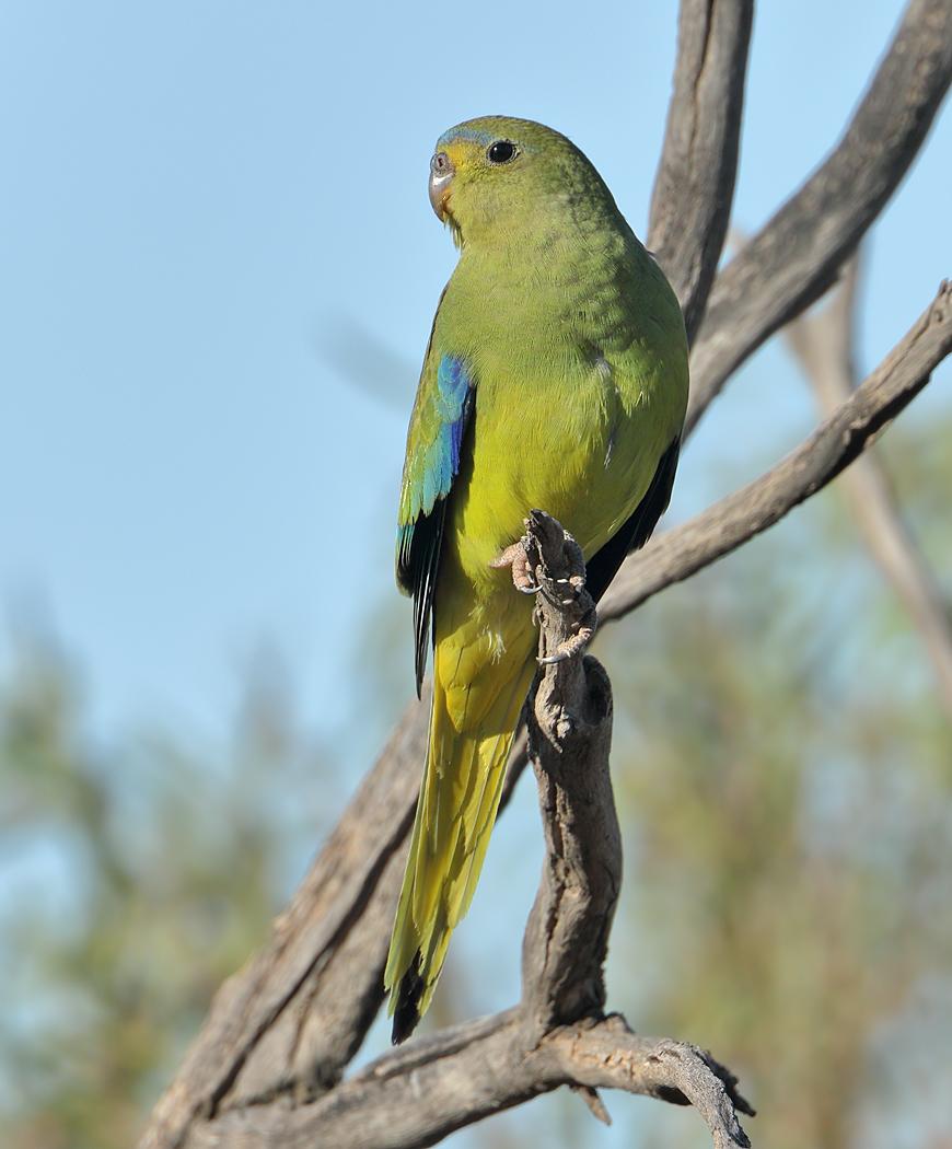 Elegant Parrot (Image ID 37844)