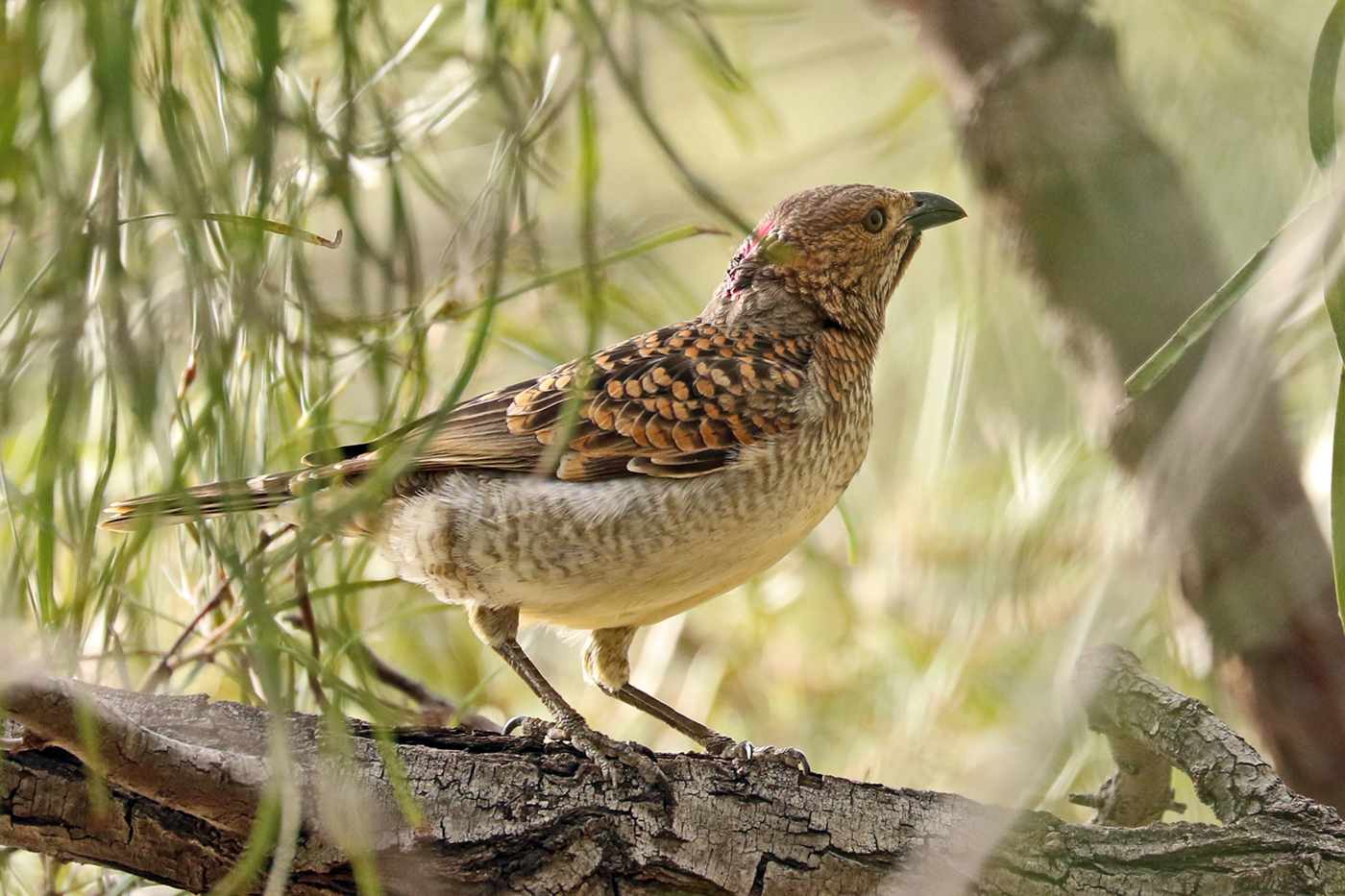 Spotted Bowerbird (Image ID 37515)