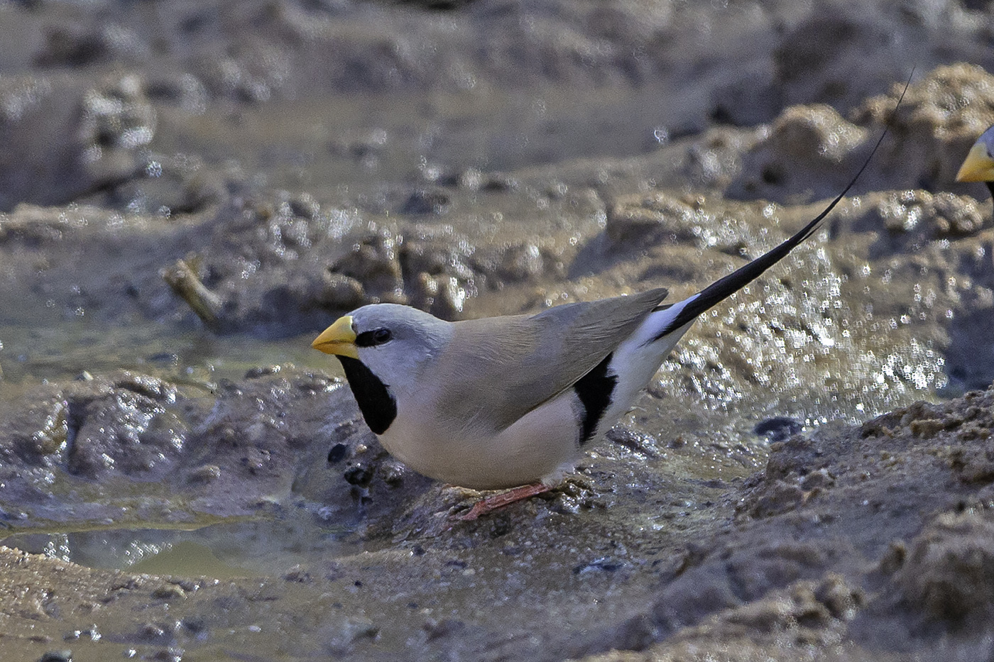 Long-tailed Finch (Image ID 37856)