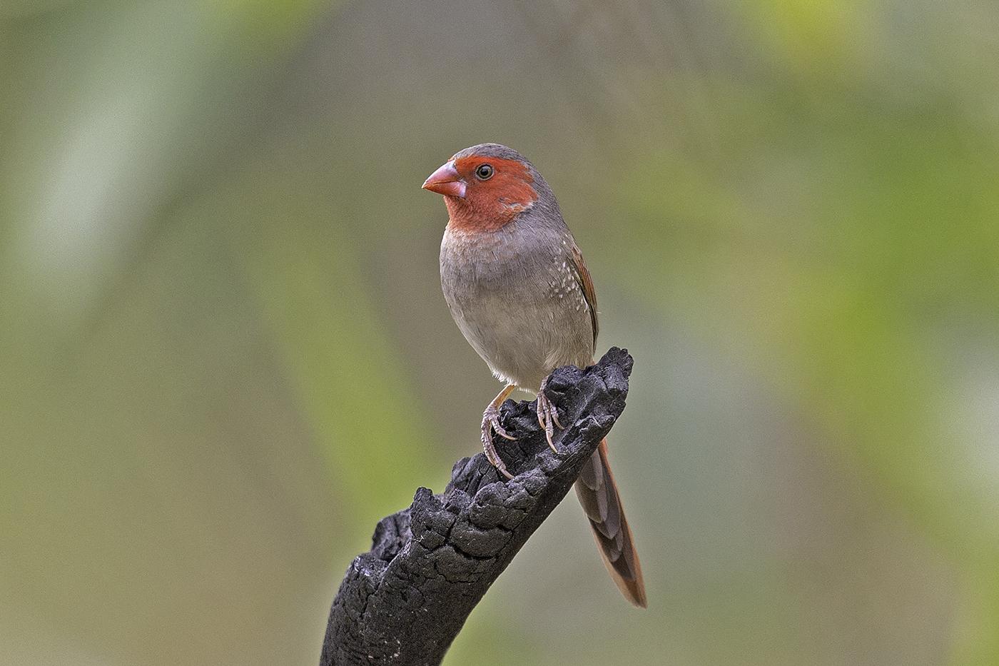 Black-bellied Crimson Finch (Image ID 37821)