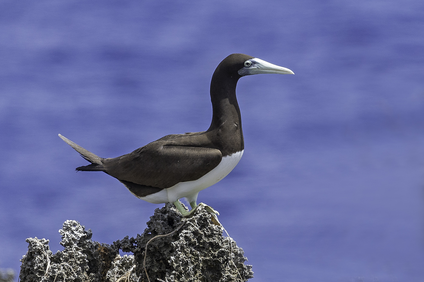 Brown Booby (Image ID 37754)