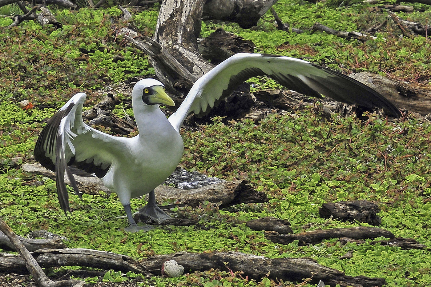 Masked Booby (Image ID 37755)
