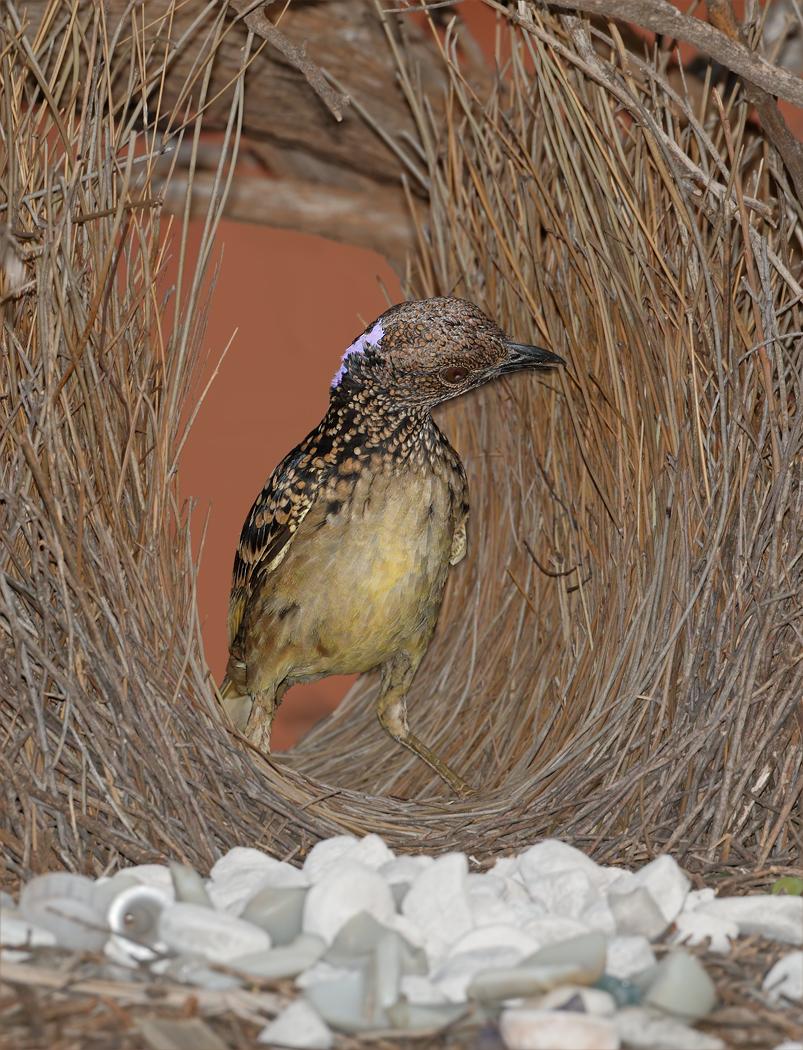 Western Bowerbird (Image ID 37476)