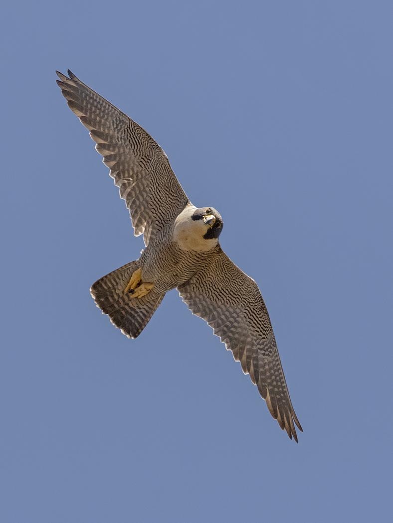 Peregrine Falcon (Image ID 37758)