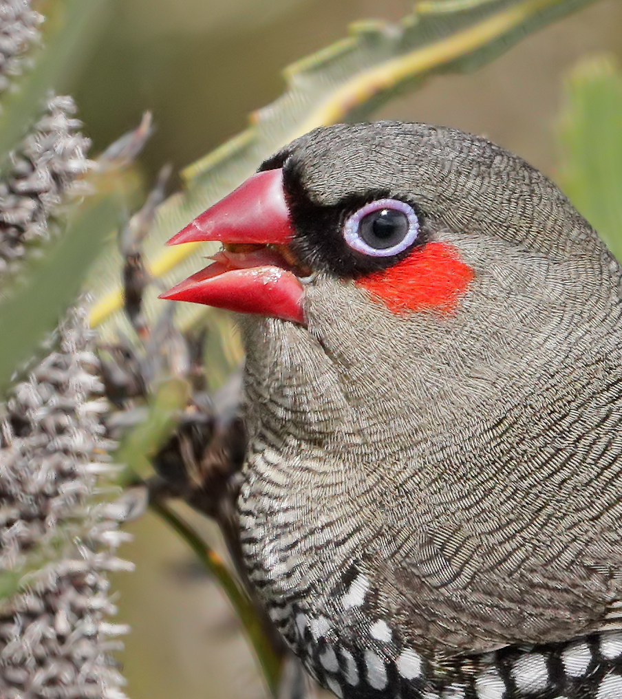 Red-eared Firetail (Image ID 37685)