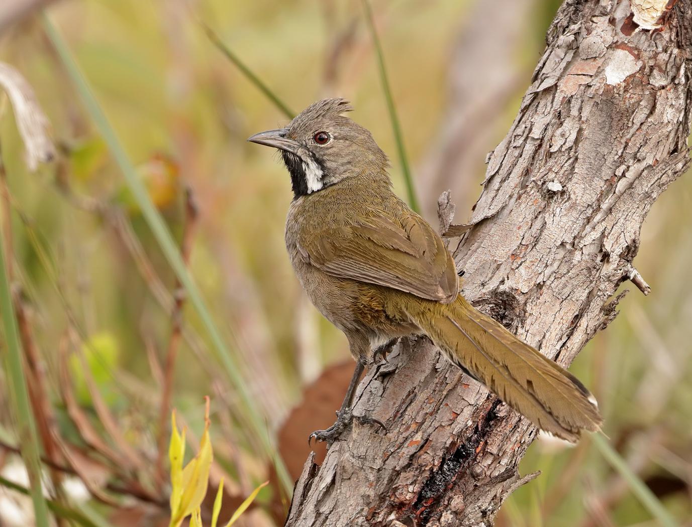 Western Whipbird (Image ID 37762)