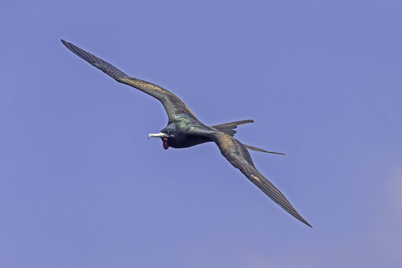 Great Frigatebird (Image ID 37907)