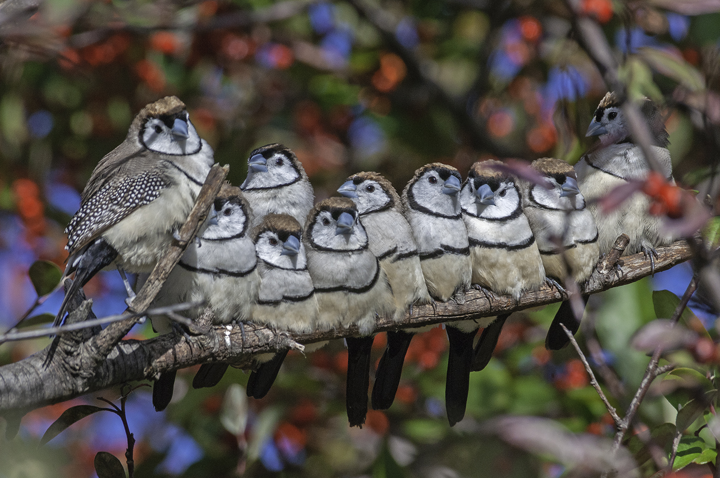Double-barred Finch (Image ID 37825)