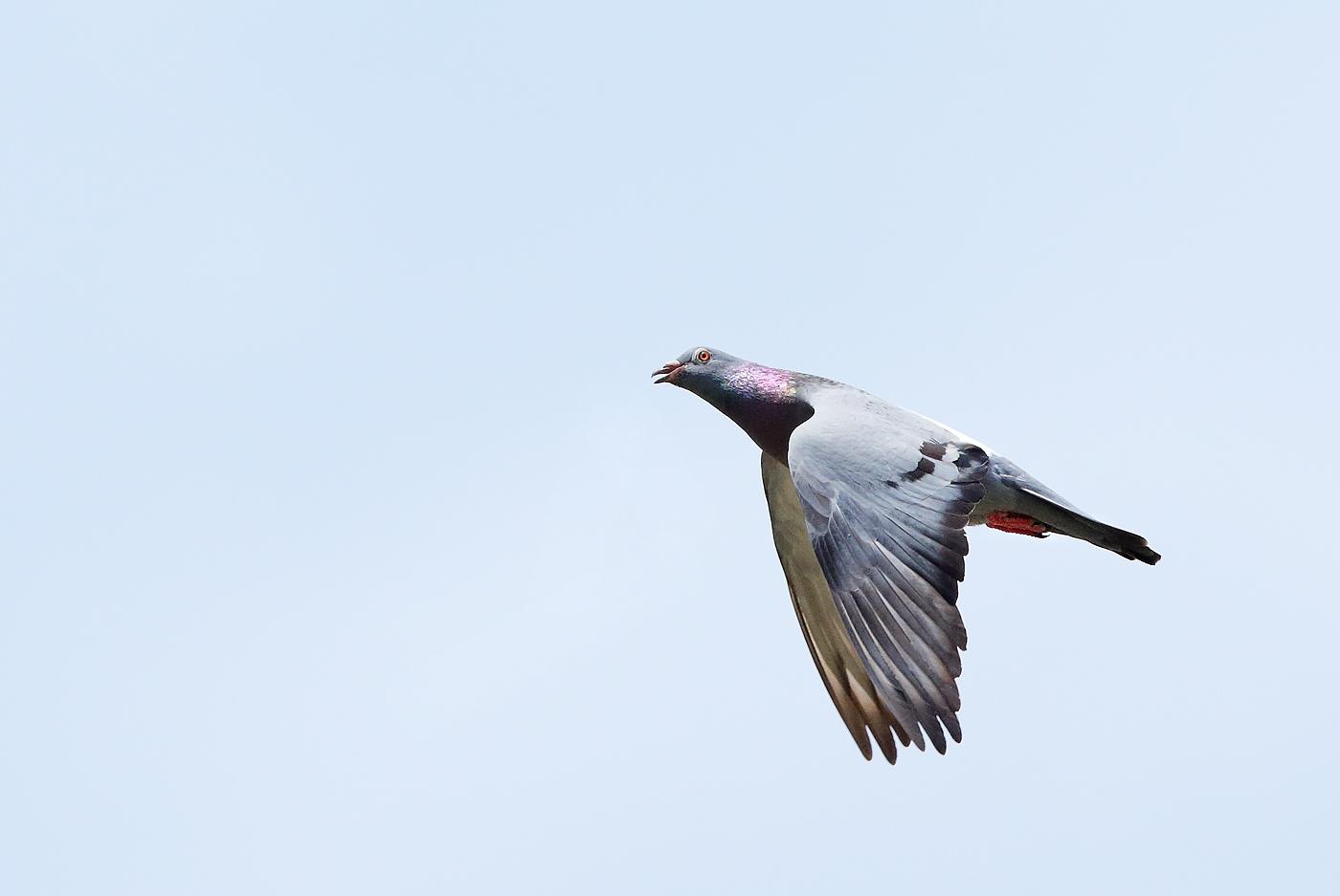 Rock Dove (Image ID 37625)
