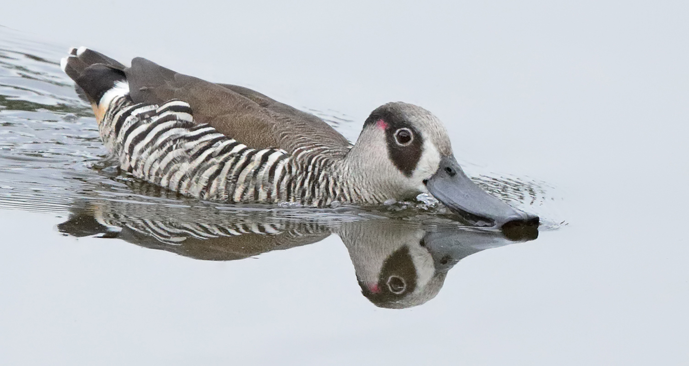 Pink-eared Duck (Image ID 37587)