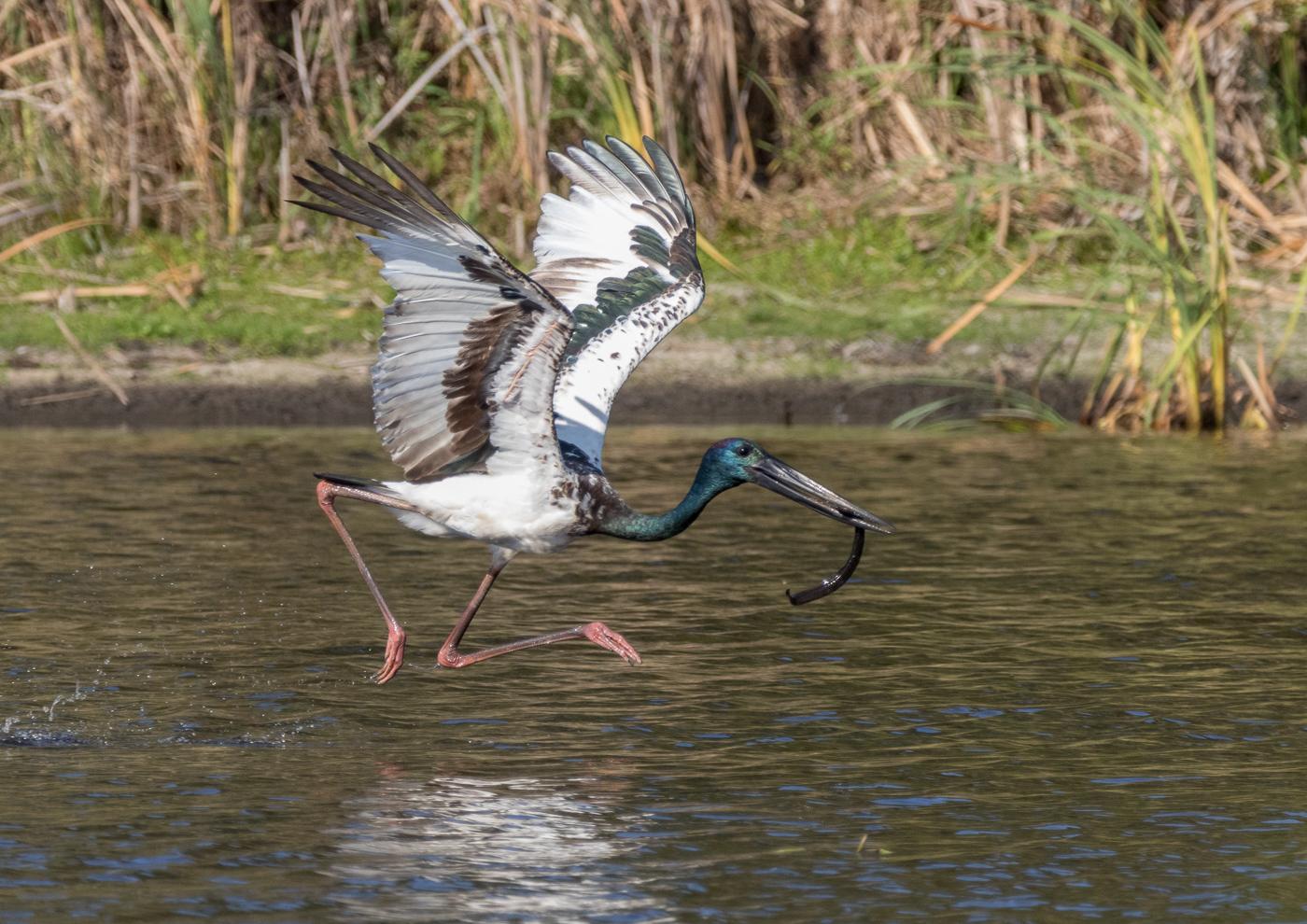 Black-necked Stork (Image ID 37788)