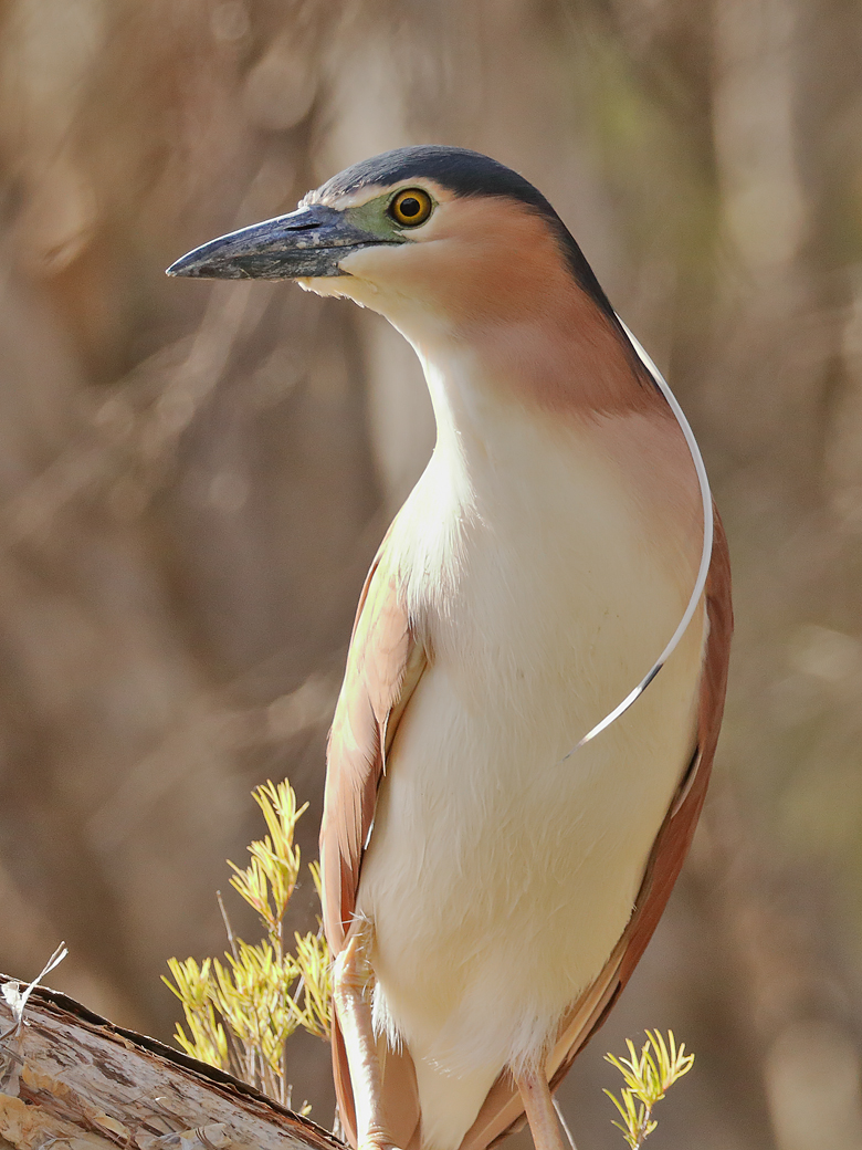 Nankeen Night-Heron (Image ID 37606)