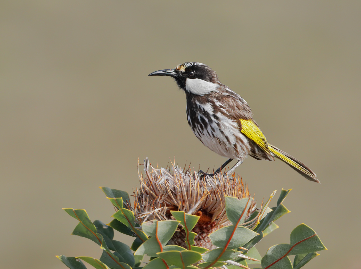 White-cheeked Honeyeater (Image ID 37744)