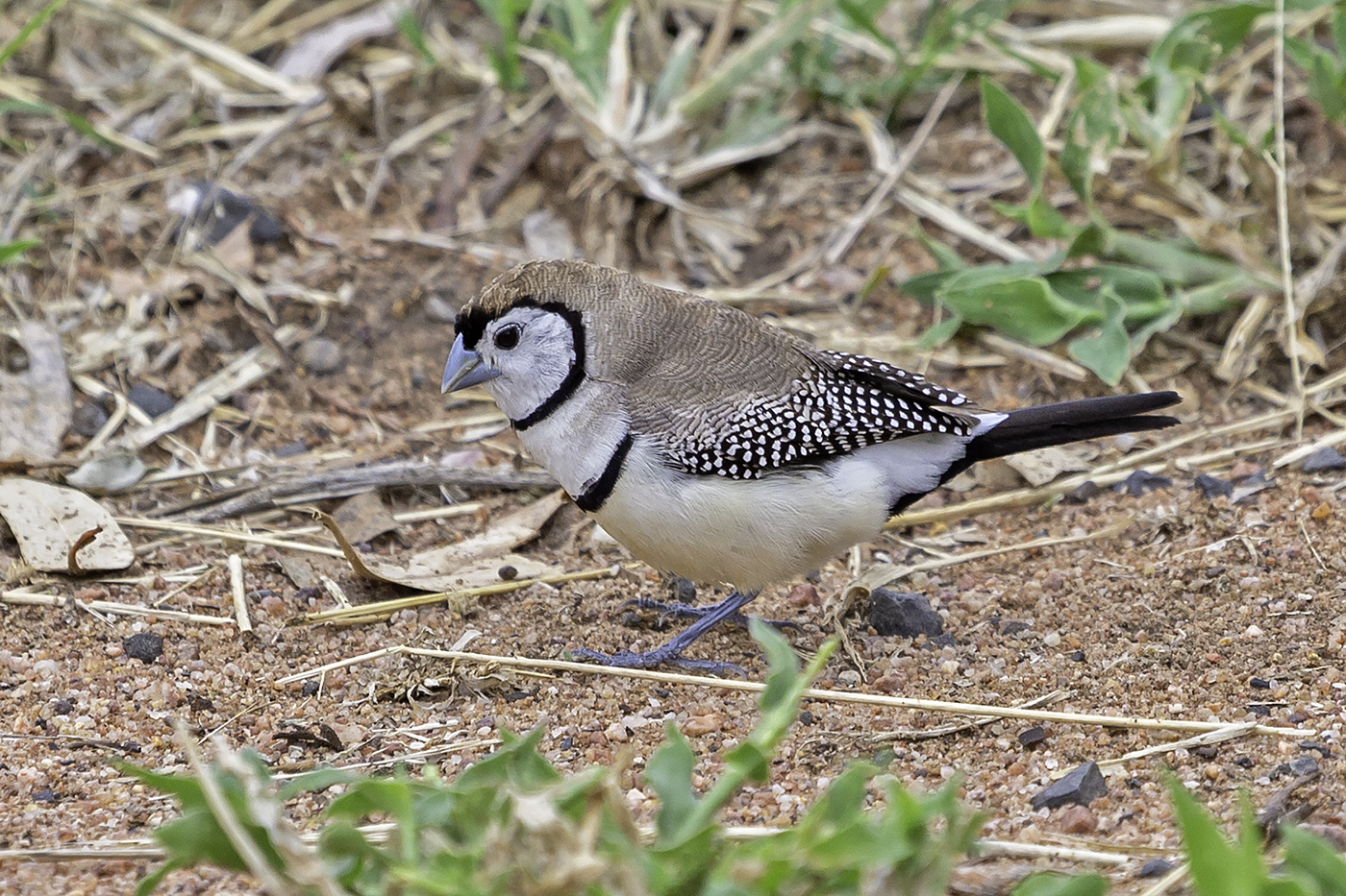 Double-barred Finch (Image ID 37826)