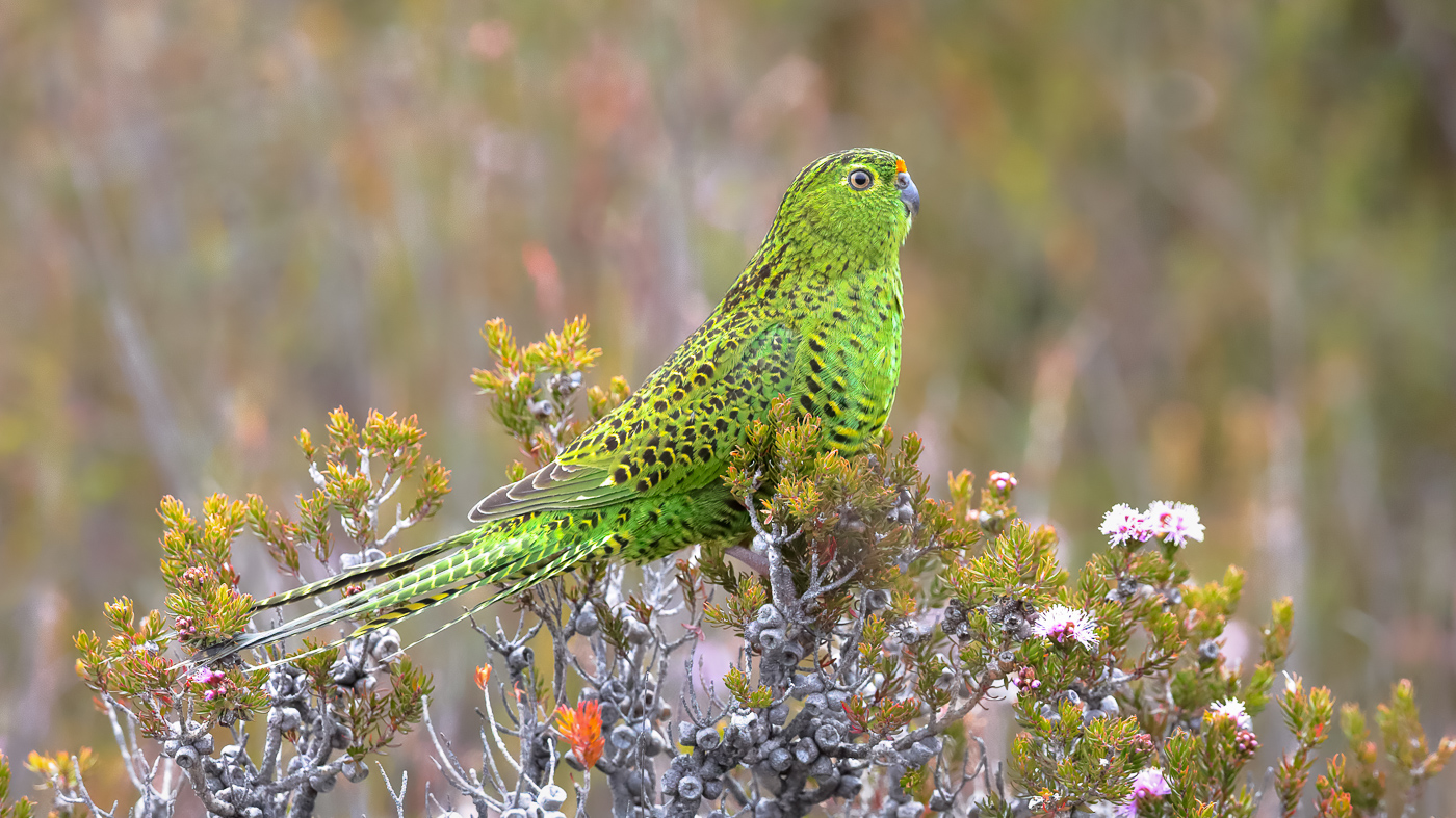 Ground Parrot (Image ID 37601)