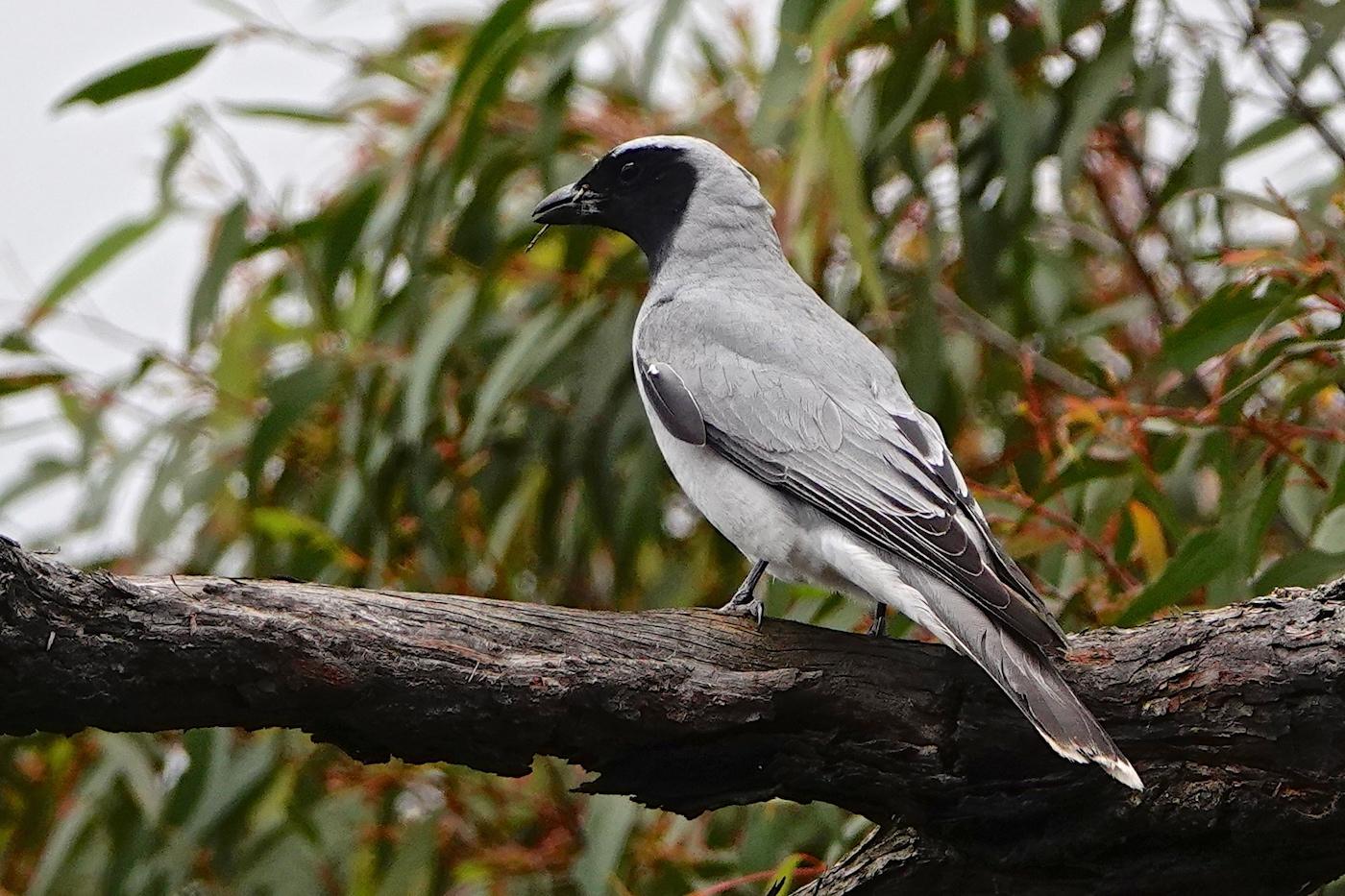 Black-faced Cuckoo-shrike (Image ID 37490)